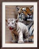 Six-Year-Old Bengal Tigress Rosi Framed Photographic Print