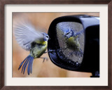 Blue Tit is Reflected in a Wing Mirror of a Car That is Covered with Raindrops Framed Photographic Print