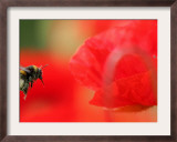 A Bumble Bee Hovers Over a Poppy Flower During a Summer Heat Wave in Santok, Poland, June 27, 2006 Framed Photographic Print by Lech Muszynski