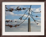 Cherry Blossom Buds are Seen in the Peduncle Elongation Phase by the Washington Monument Framed Photographic Print