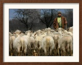 Ethnic Albanian Shepherd Herds His Sheep in the North-West Macedonian Village of Galata Framed Photographic Print