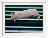 Beauty a 20-Week-Old Pig Flies Through the Air Framed Photographic Print by Mark Baker