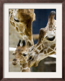 Giraffe Calf is Seen with Her Father and Her Mother at the Berlin Zoo Framed Photographic Print