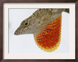 A Cuban Anole Lizard Displays His Dewlap, a Colorful Flap of Skin Under His Neck Framed Photographic Print by Wilfredo Lee