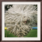 Hungarian Puli Sheep Dog, Fee, Jumps over a Hurdle During a Preview for a Pedigree Dog Show Framed Photographic Print