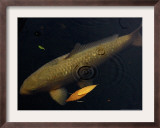 A Colorful Koi Swims Past a Floating Autumn Leaf Framed Photographic Print by Rick Bowmer