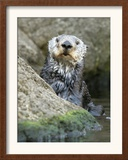 A Sea Otter Looks out from Behind a Rock Framed Photographic Print