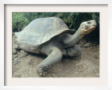 Giant Turtle, Santa Cruz Island, Galapogos Islands Framed Photographic Print by Dolores Ochoa