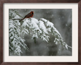 A Male Northern Cardinal Sits on a Pine Branch in Bainbridge Township, Ohio, January 24, 2007 Framed Photographic Print by Amy Sancetta