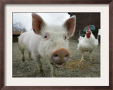 Pigs across America, Ravenna, Ohio Framed Photographic Print by Amy Sancetta