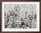 Heavy Snow Hangs on Trees Along Hurricane Ridge Framed Photographic Print by Jeffrey Phelps