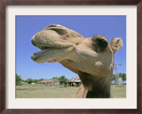 A Camel from Doug Baum&#39;s Herd is Shown in Valley Mills, Texas, Thursday, July 13, 2006 Framed Photographic Print by L.m. Otero