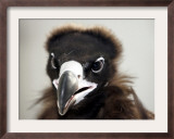 Vulture Rescue, Bangkok, Thailand Framed Photographic Print by Apichart Weerawong