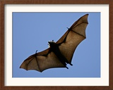A Flying Fox Soars Above the Trees Framed Photographic Print