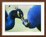 Male Peacocks Interact on a Farm in Mombasa, Kenya Framed Photographic Print
