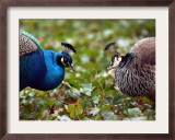 Peacocks in Lazienki Park, Warsaw, Poland Framed Photographic Print by Alik Keplicz