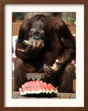 Six-Year-Old Male Orangutan Allan Eats a Piece of Watermelon at the Everland Amusement Park Framed Photographic Print
