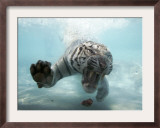 Odin the Tiger, Vallejo, California Framed Photographic Print by Eric Risberg
