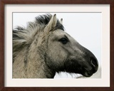 Wild Horse Konik, Geltinger Birk Reserve, Germany Framed Photographic Print by Heribert Proepper