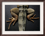 Shabango, an 8-Year-Old Iguana Framed Photographic Print by Carolyn Kaster