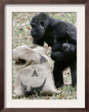 Sukari, an 8-Year-Old Mother Gorilla, Rummages Through a Trick or Treat Bag Framed Photographic Print by John Amis