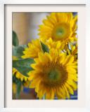 Sunny Sunflower II Poster by Nicole Katano
