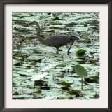 A Great Blue Heron Stalks Its Prey in Marsh in East Montpelier, Vermont, Thursday, August 23, 2001 Framed Photographic Print by Toby Talbot