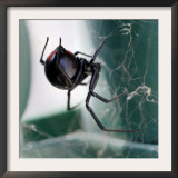 A Female Black Widow Spider Framed Photographic Print