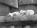 As Two Polar White Bears Are Sleeping, They Lean on One Another Fotografisk tryk af H. Armstrong Roberts