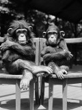 Two Baby Chimpanzees Sitting in Chairs With Their Arms and Legs Folded Fotografisk trykk av H. Armstrong Roberts