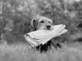 Mixed Breed Dog Holding Newspaper in Mouth Photographic Print by H. Armstrong Roberts