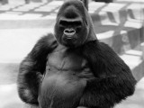 Gorilla With Hands on Hips Photographic Print by H. Armstrong Roberts