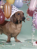 Dachshund Wearing Party Hat With Polka Dots Balloons Photographic Print by H. Armstrong Roberts