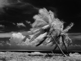 Infrared Image of Palm Trees Blowing in Wind Photographie par H. Armstrong Roberts
