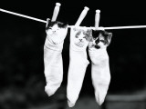 Three Kittens in Socks, Hanging From Clothes Line Photographic Print by H. Armstrong Roberts