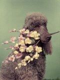 French Poodle Holding Flowers in Mouth Photographic Print by H. Armstrong Roberts