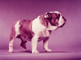 Bulldog Photographic Print by H. Armstrong Roberts