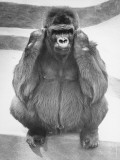 Gorilla Sitting on Concrete Surface Painted in Stripes Photographic Print by George Marks