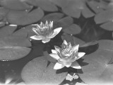 Water Lilies on Pond Photographic Print by George Marks