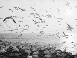 Seagulls Nesting Photographic Print
