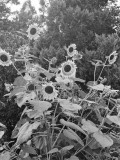 Sunflowers and Trees Photographic Print by George Marks