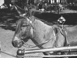 Mule Standing in Street Photographic Print by George Marks