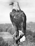 Bald Eagle Photographic Print by George Marks