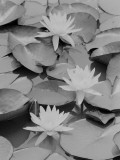 Water Lilies Photographic Print by George Marks