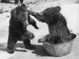 Bear Baiting Photographic Print