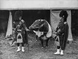 Army Bull Photographic Print