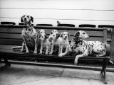 Dalmatian Pups Photographic Print