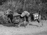 Dogs of War Photographic Print
