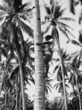 Filipino Man Climbing Tree Trunk of Coconut Palm To Harvest Coconuts, Near Manila Photographic Print by Charles Phelps Cushing