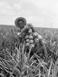 Pineapple Harvest Photographic Print by Charles Phelps Cushing